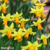 žlutooranžový narcis jetfire 2