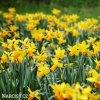 žlutooranžový narcis jetfire 3