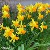 žlutooranžový narcis jetfire 5