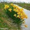 žlutooranžový narcis jetfire 6