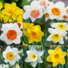 Narcis Mix large flowing 2