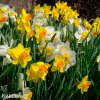 Narcis Mix large flowing 4