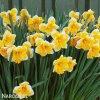 Narcis Orangery 5