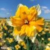 oranžovobílý narcis split orangery 6