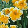 oranžovobílý narcis split orangery 7