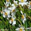 bílý narcis poeticus pheasant eye recurvus 2