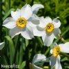 bílý narcis poeticus pheasant eye recurvus 4