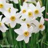 Narcis Pheasant eye recurvus 5