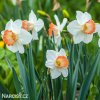 bílorůžový narcis pink charm 2