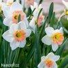bílorůžový narcis pink charm 3