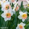 Narcis Pink charm 3