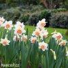 bílorůžový narcis pink charm 5