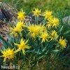 Narcis - Rip van winkle
