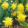 Narcis Rip van winkle 5