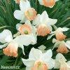bílorůžový narcis salome 5