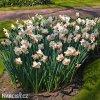 bílorůžový narcis salome 6