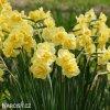 žlutý plnokvětý narcis yellow cheerfulness 4