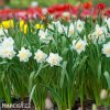 Narcis White lion 3