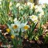 bílý vícekvětý narcis canaliculatus 2