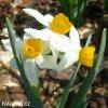bílý vícekvětý narcis canaliculatus 4