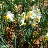 bílý vícekvětý narcis canaliculatus 6