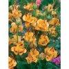Lilie Apricot fudge 3