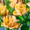 Lilie Apricot fudge 1
