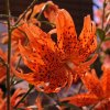 Lilie Lancifolium 4