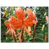 Lilie Lancifolium 1