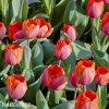 červený tulipán ad rem 3