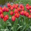 červený tulipán ad rem 4