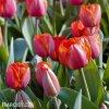 červený tulipán ad rem 6