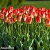 žlutočervený tulipán american dream 2