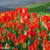 žlutočervený tulipán american dream 5