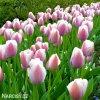 růžový tulipán ollioules 3