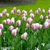 růžový tulipán ollioules 7