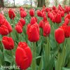 červený tulipán apeldoorn 4