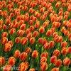 červenožlutý tulipán apeldoorns elite 2