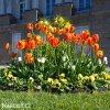 červenožlutý tulipán apeldoorns elite 4
