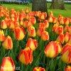 žlutočervený tulipán banjaluka 2