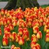žlutočervený tulipán banjaluka 3