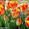 žlutočervený tulipán banjaluka 5