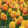 žlutý tulipán blushing apeldoorn 3
