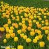 žlutý tulipán golden apeldoorn 3