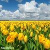 žlutý tulipán golden apeldoorn 5