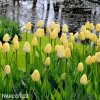 žlutý tulipán ivory florafale 2