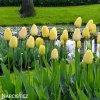 žlutý tulipán ivory florafale 4
