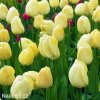 žlutý tulipán ivory florafale 8