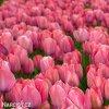 ruzovy tulipan van eijk 2