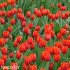 cerveny tulipan worlds favourite 2